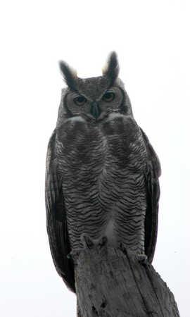 Great Horned Owl 8 x.jpg
