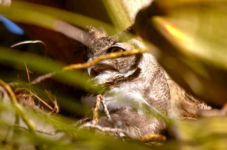 beak profile yellow eye and huffing.jpg