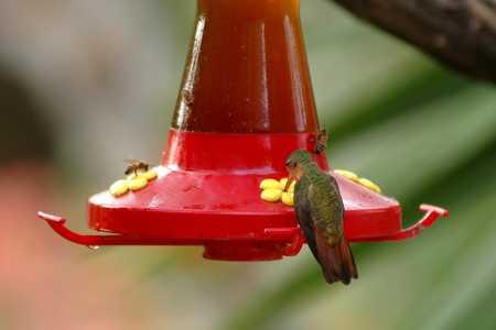 2 Cinnamon Hummingbird 23x.jpg