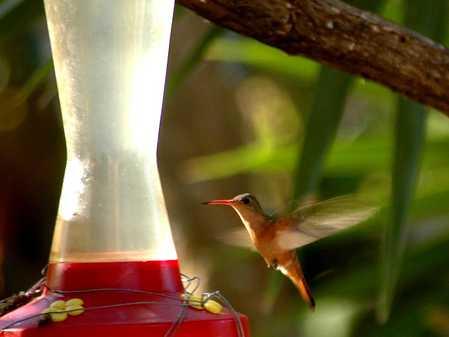 Cinnamon Hummingbird in flight