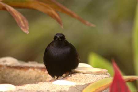 7 Melodious Blackbird 1x.jpg