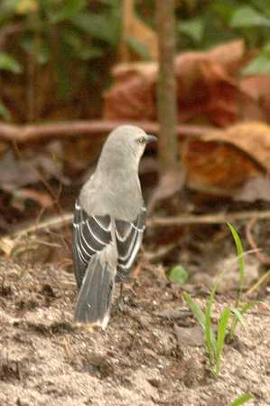 10 Tropical Mockingbird 1x.jpg