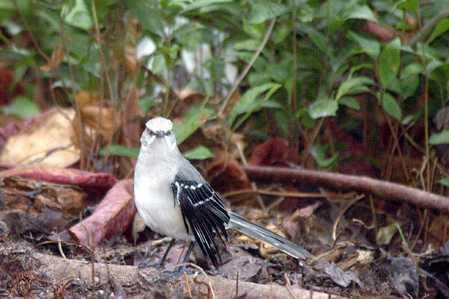 11 Tropical Mockingbird 2x.jpg