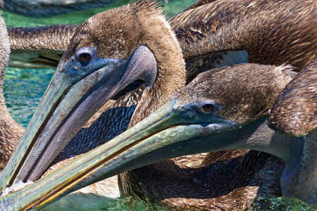 Brown Pelicans.jpg