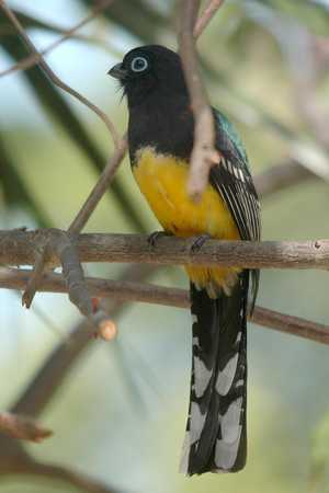 12 Black-headed Trogon - male front x.jpg