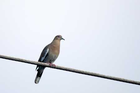 18 White-winged Dove x.jpg