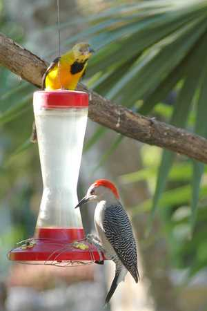 19 Golden-fronted Woodpecker and Hooded Oriole x.jpg
