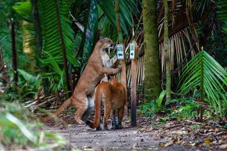 Mama and baby Puma.jpg