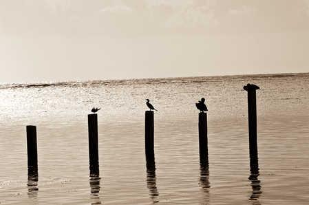 Sea bird Silhouette.