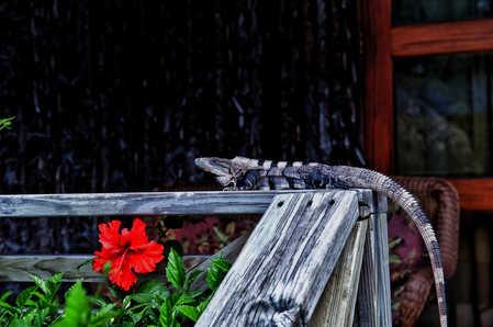 Iguana chillin on the railing.