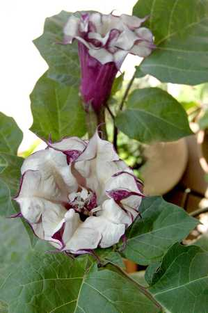 Datura - member of the Deadly Nightshade family - as are tomatoes and potatoes.  We started many of these plants from seed.  They have a great fragrance - especially at night.