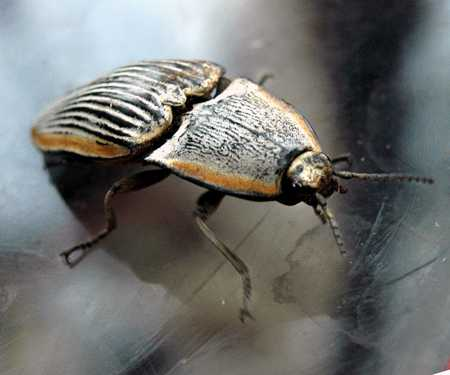 Beetle - firefly 3007.jpg