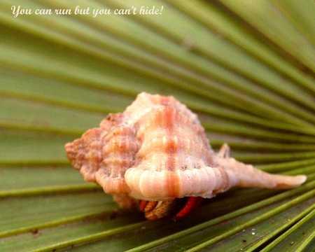 Hermit crab 2529.jpg