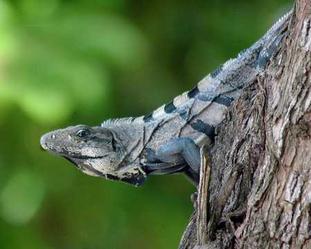 Strange Looking Iguana