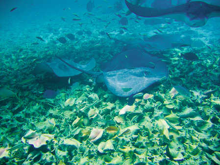 Spotted Eagle Ray in the upper right corner!