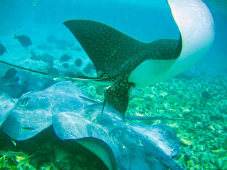 Spotted Eagle Ray!