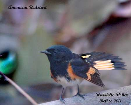American Redstart 2670.jpg
