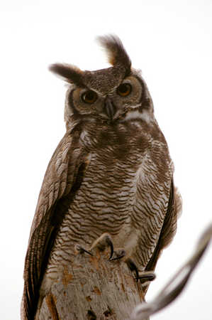 Great Horned Owl -Male
