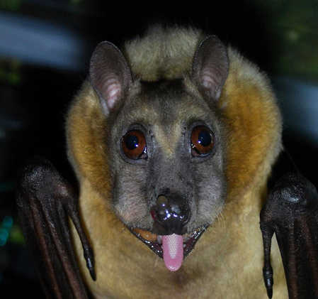 bat_tongue.jpg