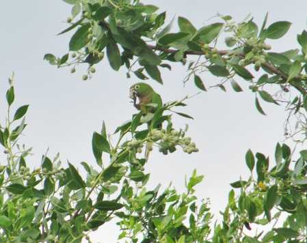Olive-Throated_Parakeet_on_Ambergris_Caye.jpg