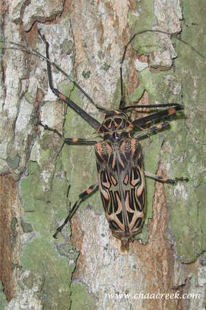 Harlequin-Beetle.jpg