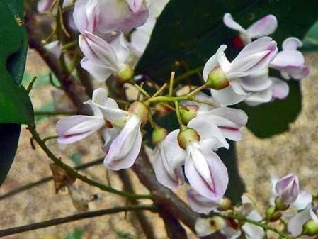 flowers-of-belize1.jpg