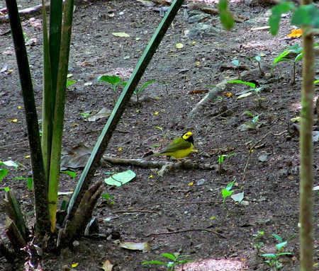 hooded-warbler.jpg