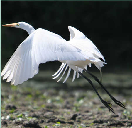 white egret.jpg