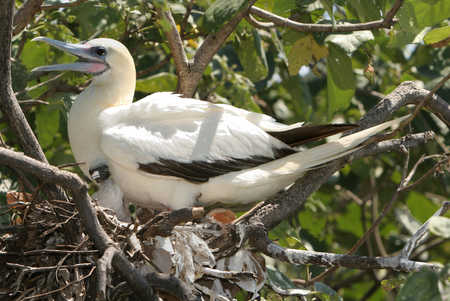 Booby and Chick at Half Moon Caye.jpg