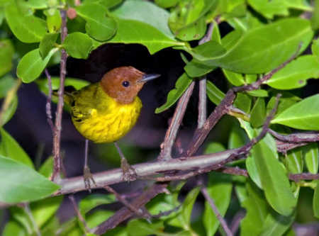 Mangrove Warbler-1.jpg