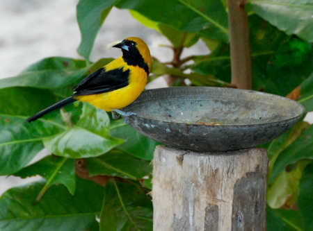 Male Yellow-Backed.jpg