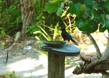 Yucatan Jay on Ambergris Caye Belize.jpg