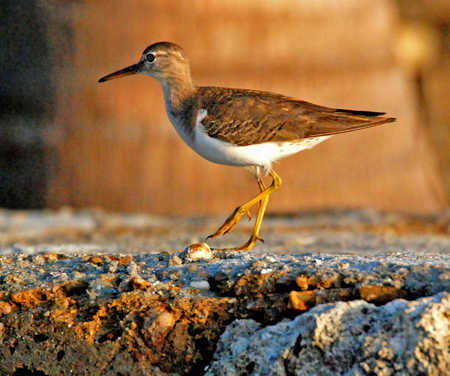 Spotted Sandpiper on Ambergris Caye.jpg