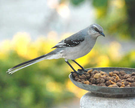 Tropical Malkingbird.jpg