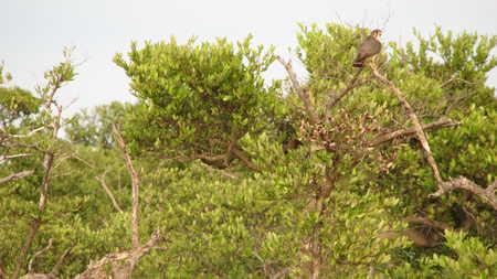 Juvenile Black Mangrove Hawk?
