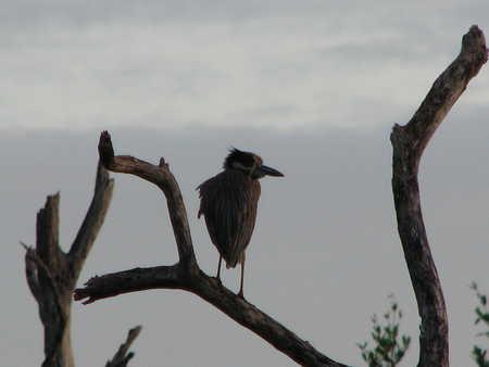 Night Heron?