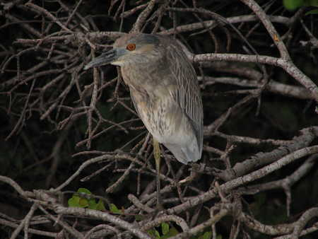 Unidentified - possibly Juvenile Night Heron