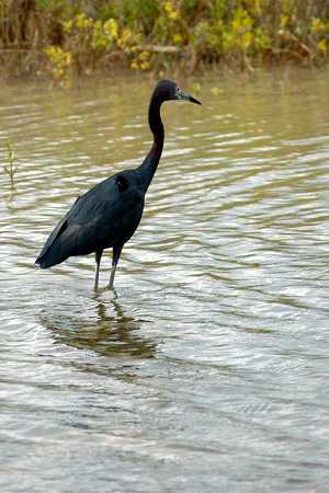 Little Blue Heron in lagoon prior to Reef Village