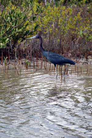 Little Blue Heron 2.jpg