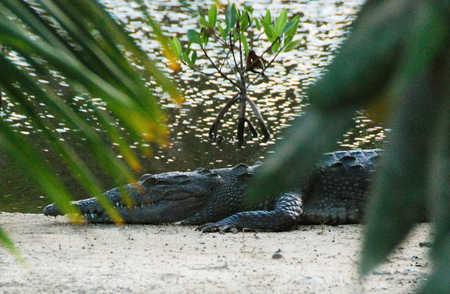 WSC Croc.jpg
