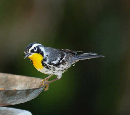 yellow throat warbler.jpg
