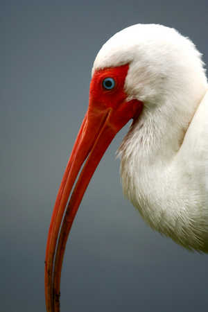 ibis photo#.jpg
