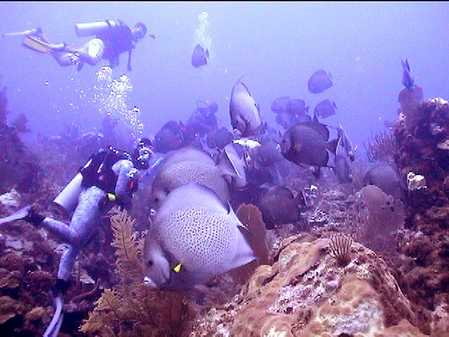 school of Grey Angelfish