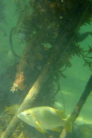 Mangrove nursery to many fish