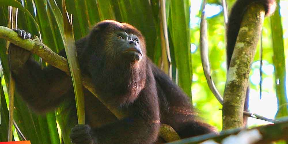 Howler monkey :: Outside the treetop villas at Caves Branch