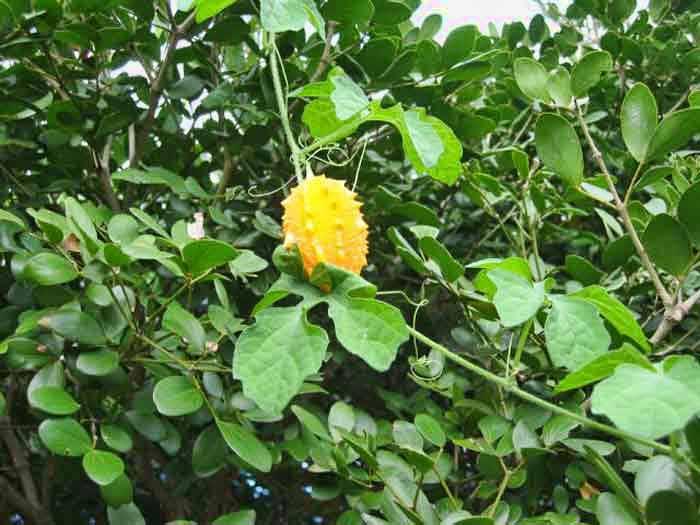 bush medicine of belize and caribbean alternative medicine