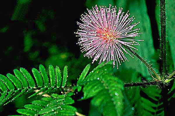 Bush Medicine of Belize and Caribbean, Alternative Medicine