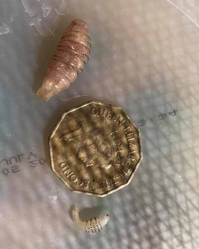 Human Botfly, Bot Fly, Botflies, Torsalo, Dermatobia hominis