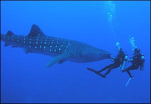 What I missed: Whale Sharks!