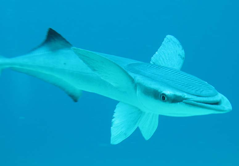 Echeneis neucratoides aka Shark Suckers or Remora